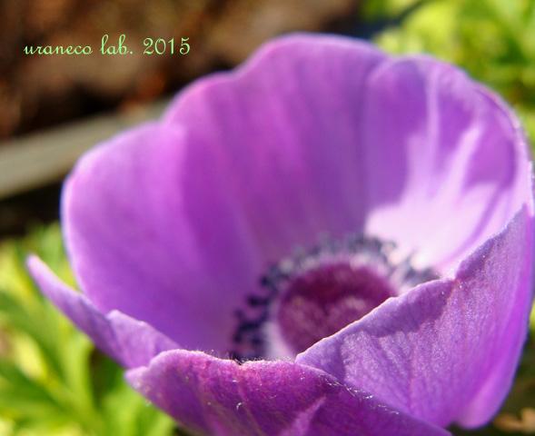1月19日アネモネ紫2