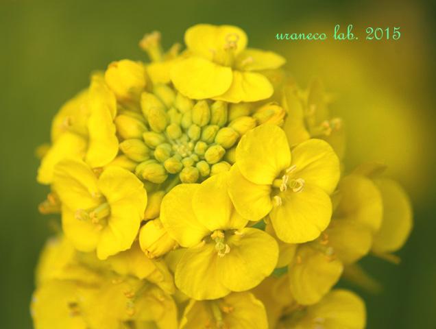 1月29日菜の花4
