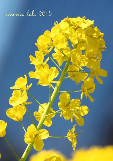 1月29日菜の花