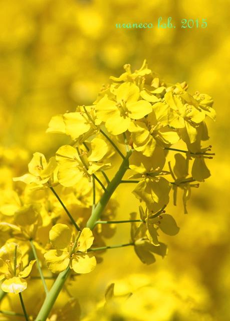 1月29日菜の花3