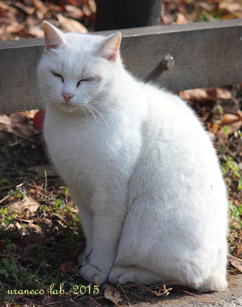 1月29日白猫ゆきお2