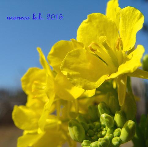 2月6日菜の花