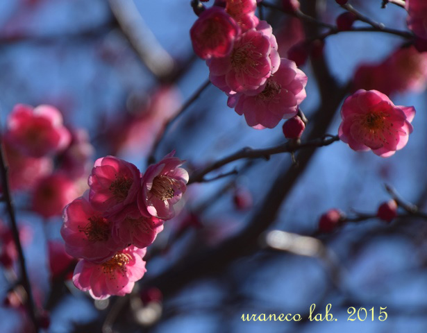 2月18日梅まつり9