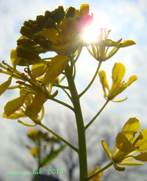 2月23日菜の花