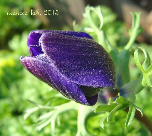 2月23日アネモネ紫