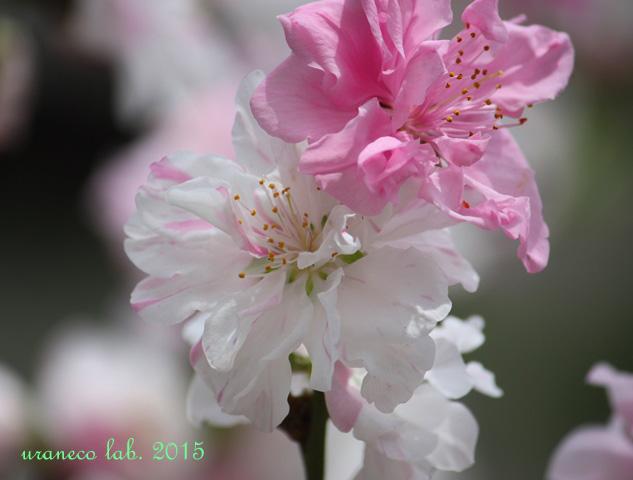3月2日花桃源平咲き2