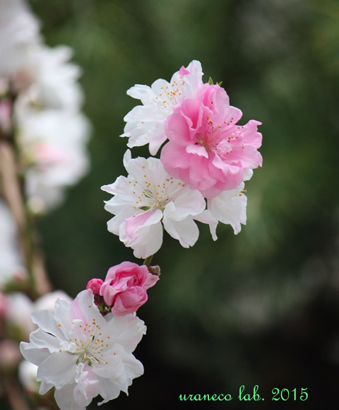 3月2日花桃源平咲き