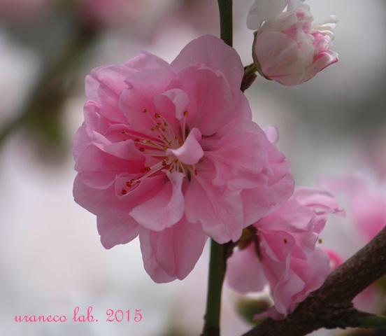 3月2日花桃ピンク2