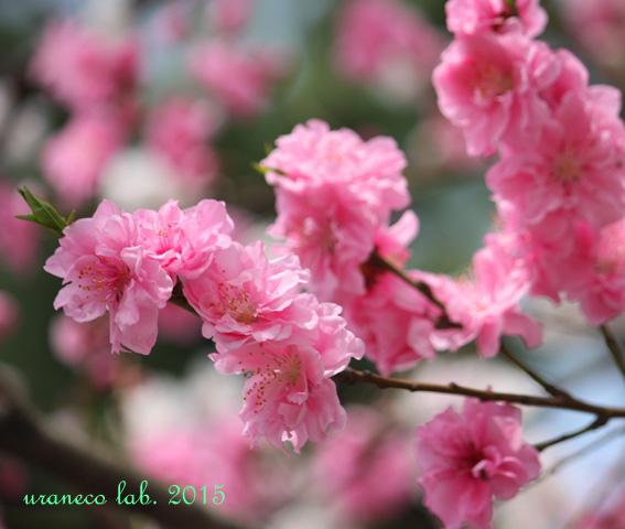 3月2日花桃ピンク