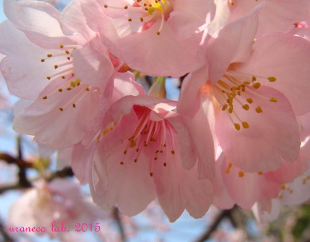 3月2日寒桜2