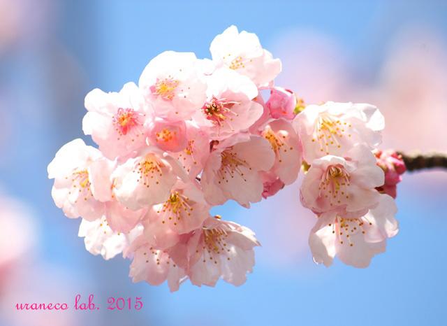 3月2日寒桜
