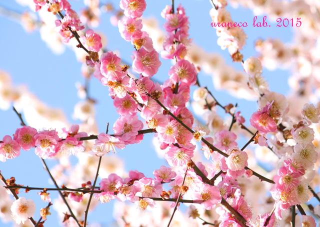3月2日梅源平咲