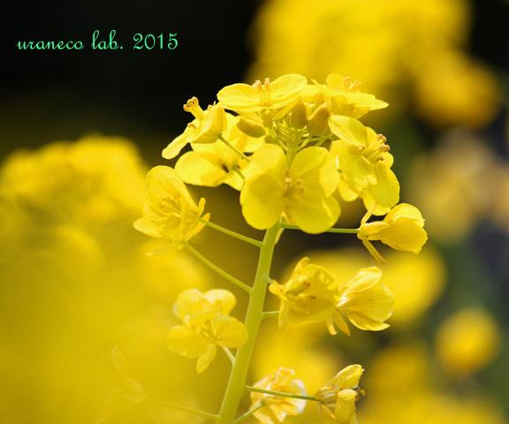 3月6日菜の花6
