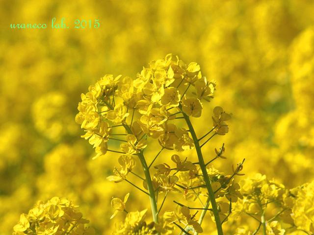 3月6日菜の花3
