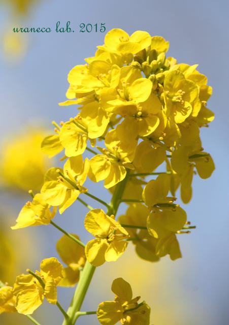 3月6日菜の花4