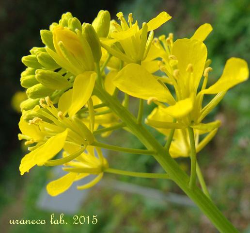3月6日菜の花