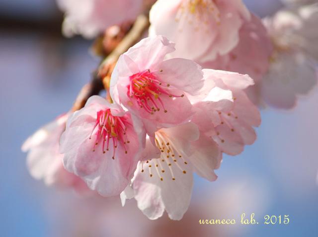 3月6日寒桜6