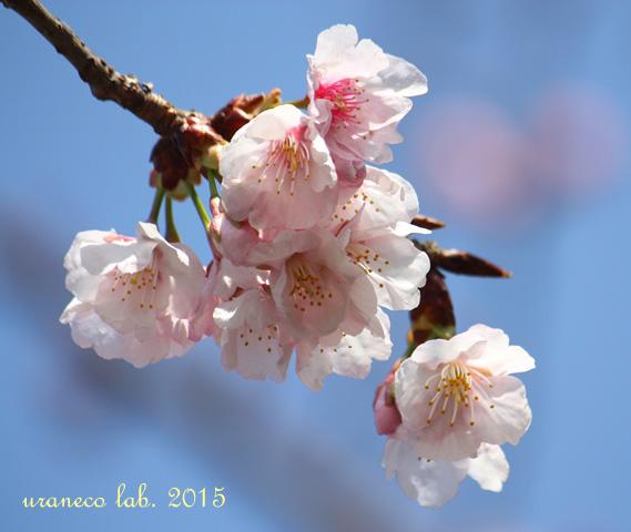 3月6日寒桜5