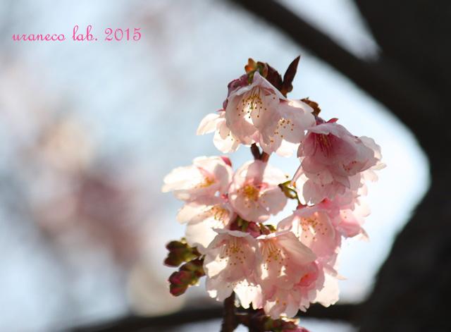 3月6日寒桜3