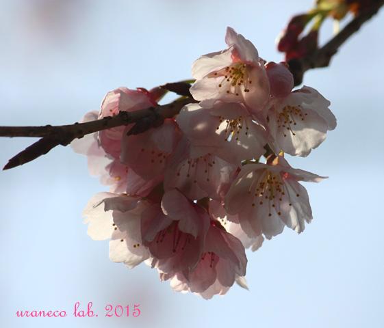 3月6日寒桜2