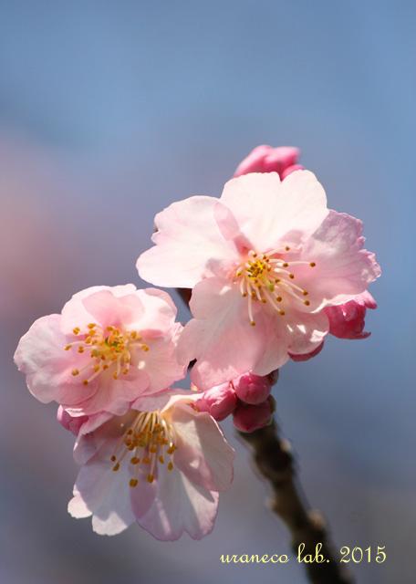 3月6日寒桜