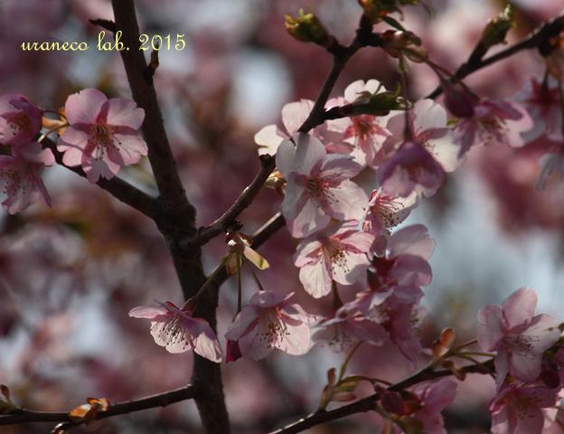 3月9日河津桜