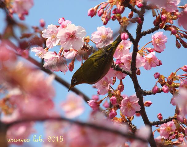 3月9日河津桜6