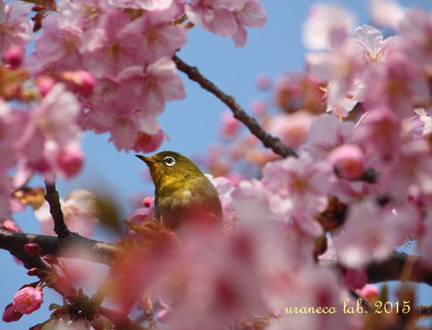 3月9日河津桜5
