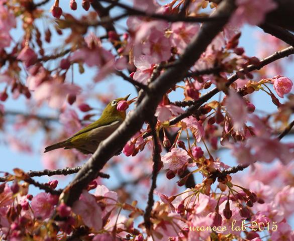 3月9日河津桜4