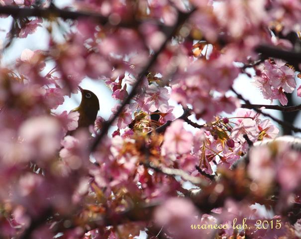3月9日河津桜3
