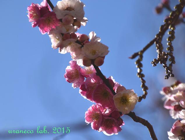 3月12日梅源平咲き6