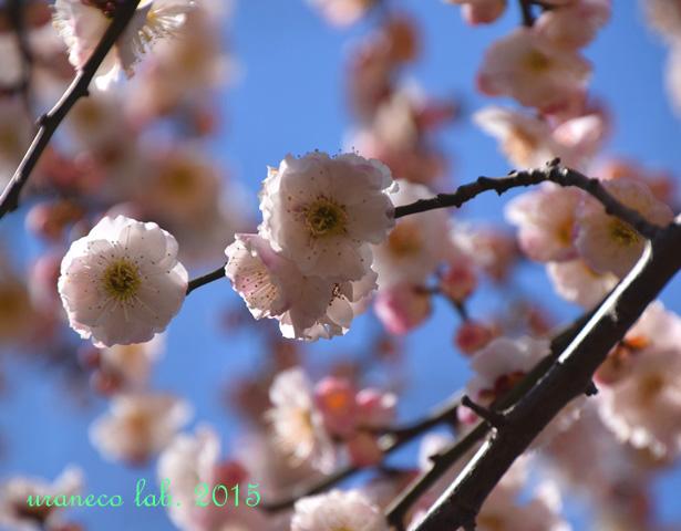 3月12日梅源平咲き5