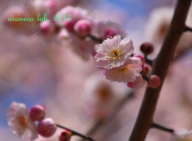 3月12日梅源平咲き3