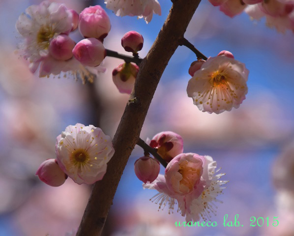 3月12日梅源平咲き4