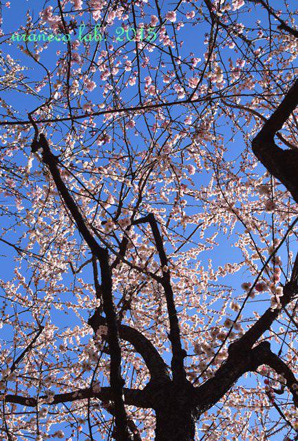 3月12日梅源平咲き
