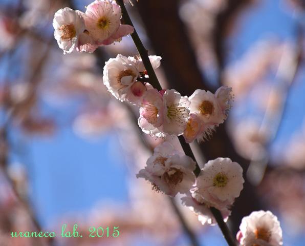 3月12日梅源平咲き2