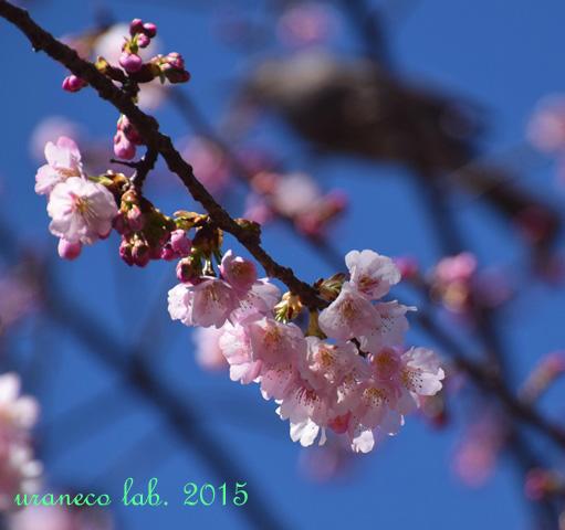 3月12日寒桜5