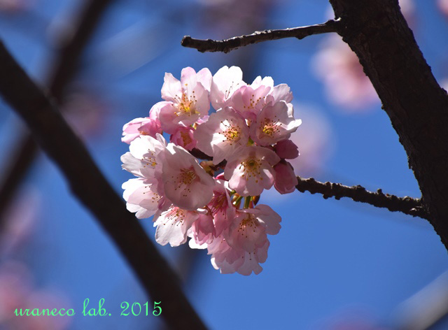 3月12日寒桜6