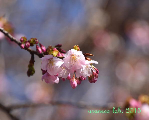 3月12日寒桜4