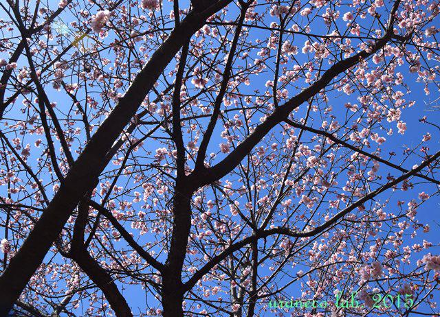 3月12日寒桜3