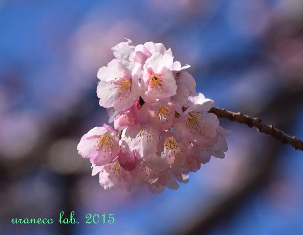 3月12日寒桜2