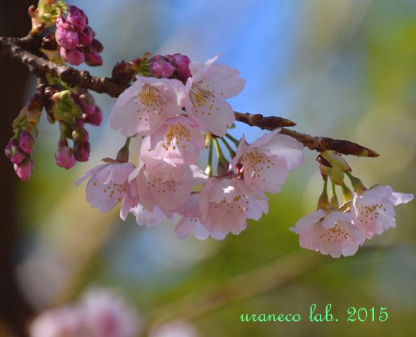 3月12日寒桜