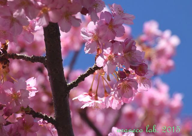 3月20日河津桜8