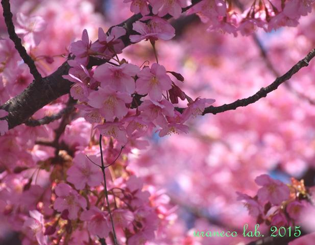 3月20日河津桜6