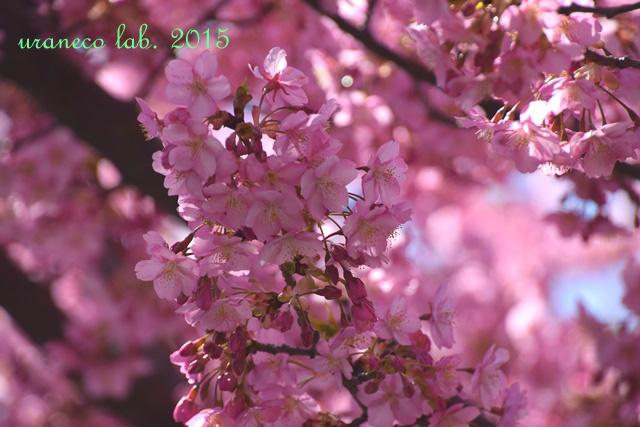 3月20日河津桜艶色