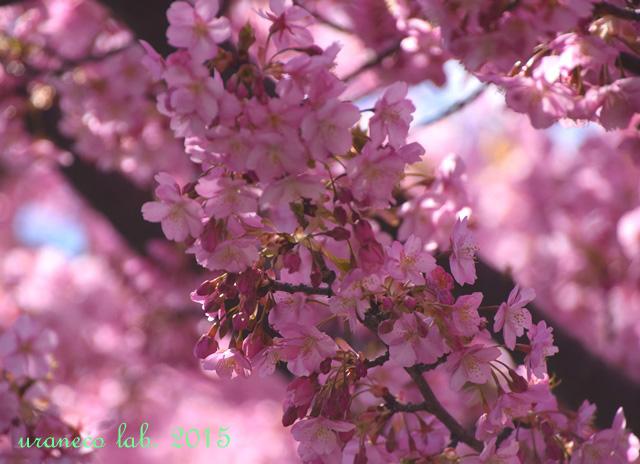 3月20日河津桜風雅