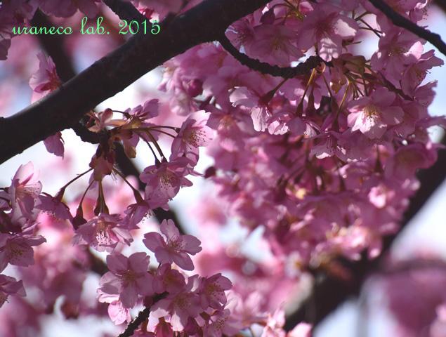 3月20日河津桜幽玄