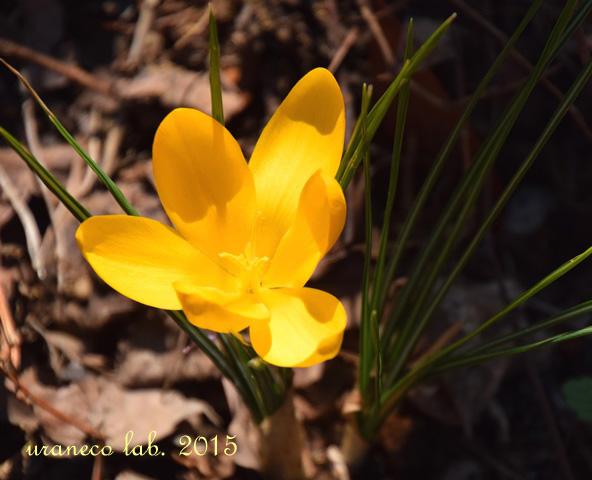 3月19日クロッカス黄色