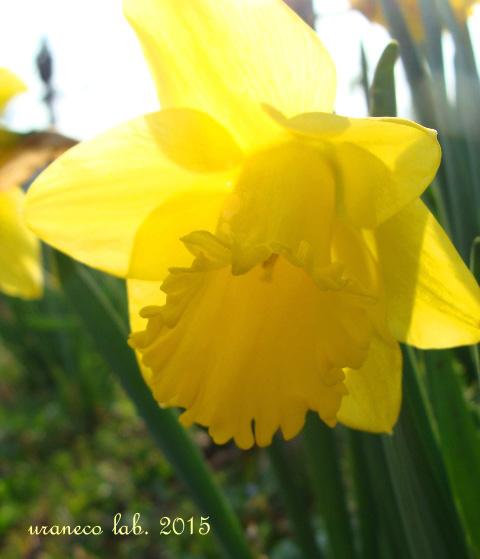 3月6日黄色い水仙