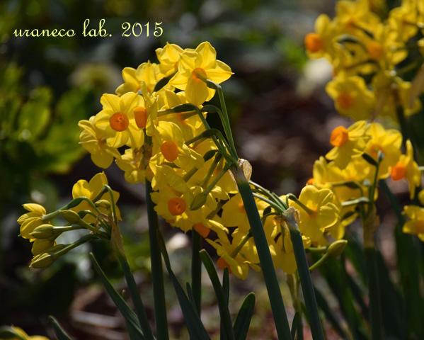 3月19日黄色い水仙
